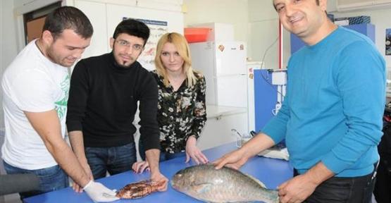 Akdeniz'de zehirli balık türleri artıyor