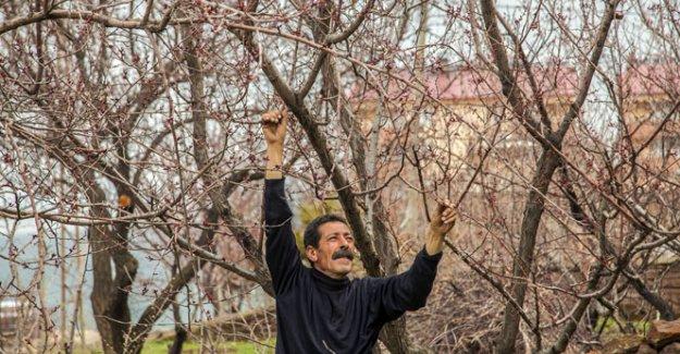 Nisan ayında yağan kar meyve ağaçlarına zarar verdi
